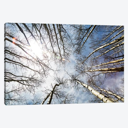 Looking Up On Tall Birch Trees Canvas Print #SMZ95} by Susan Schmitz Canvas Art