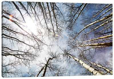 Looking Up On Tall Birch Trees Canvas Art Print
