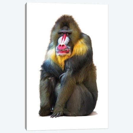 Mandrill Baboon Isolated On White Canvas Print #SMZ98} by Susan Schmitz Canvas Art Print