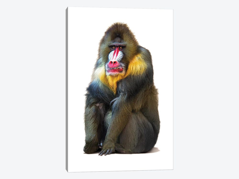 Mandrill Baboon Isolated On White by Susan Schmitz 1-piece Art Print