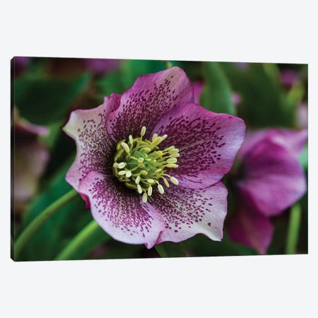 Silverdale, Washington State. Purple Hellebore flower perennials Canvas Print #SND16} by Jolly Sienda Canvas Art