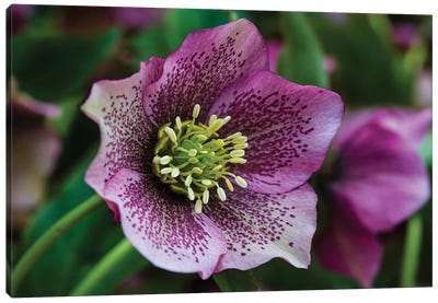 Silverdale, Washington State. Purple Hellebore flower perennials Canvas Art Print