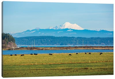 Whidbey Island, Washington State. Snowcapped Mount Baker, the Puget Sound, black cows and a pasture Canvas Art Print