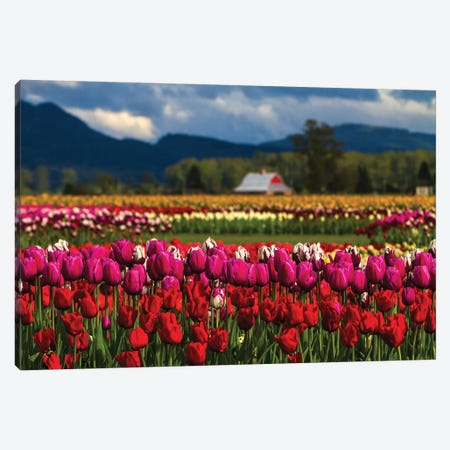 Mount Vernon, Washington State, Field of colored tulips with a bard Canvas Print #SND2} by Jolly Sienda Canvas Art