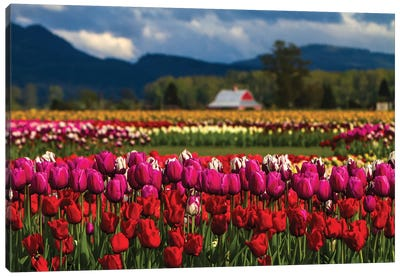 Mount Vernon, Washington State, Field of colored tulips with a bard Canvas Art Print