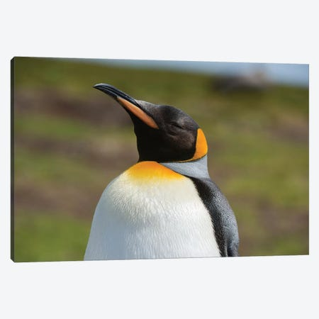 Portrait of a King penguin, Aptenodytes patagonica. Canvas Print #SPI4} by Sergio Pitamitz Canvas Wall Art