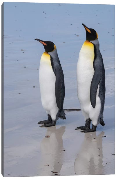 Portrait of two King penguins, Aptenodytes patagonica, on a white sandy beach. Canvas Art Print