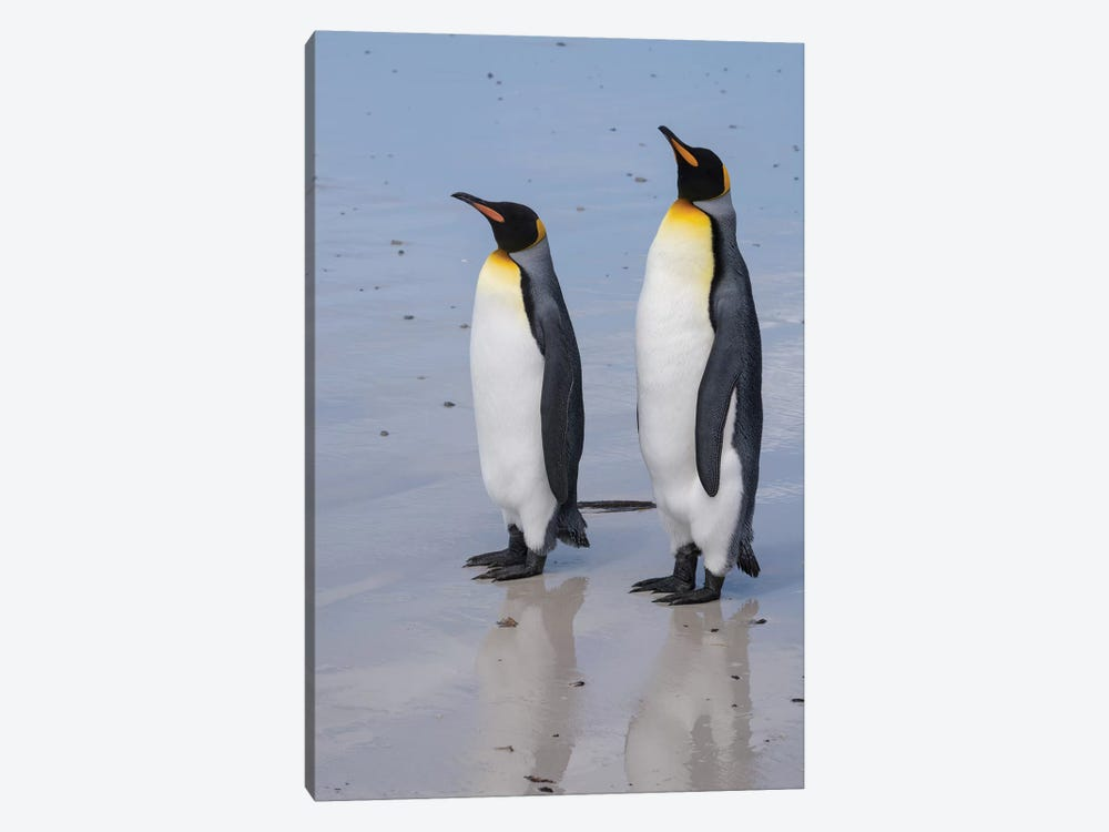 Portrait of two King penguins, Aptenodytes patagonica, on a white sandy beach. by Sergio Pitamitz 1-piece Canvas Art