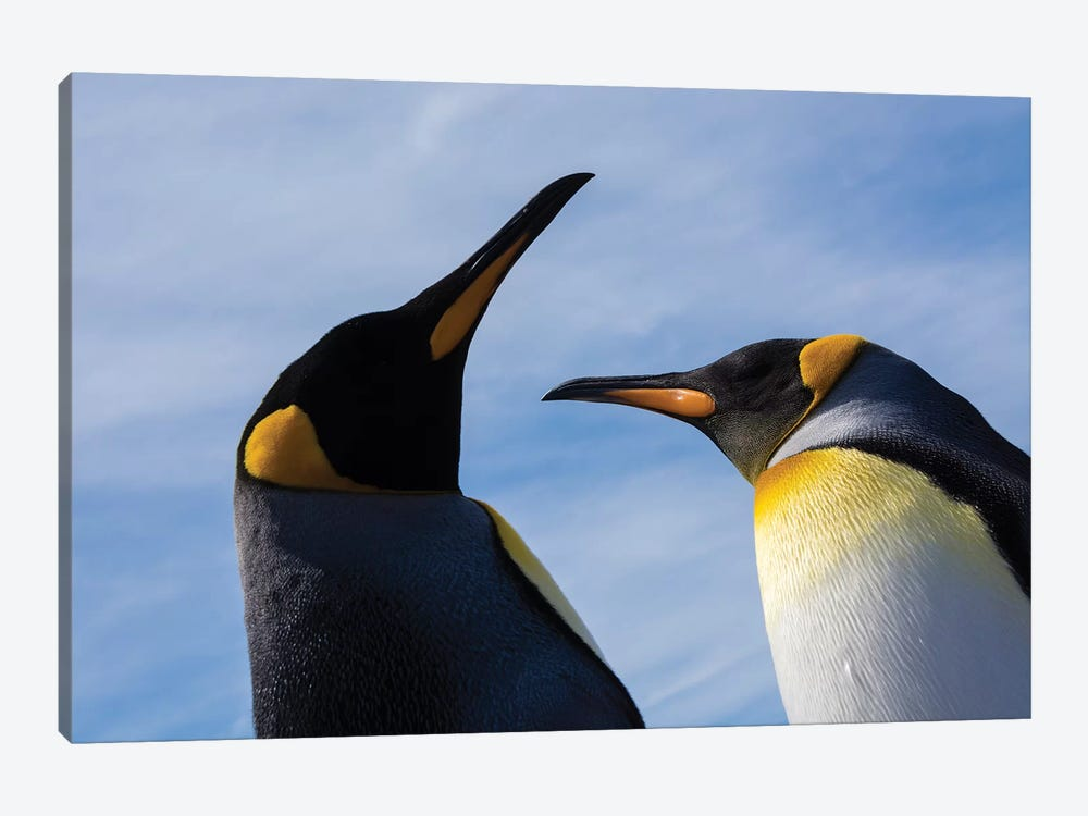 Portrait of two King penguins, Aptenodytes patagonica. by Sergio Pitamitz 1-piece Canvas Print