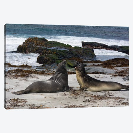 Southern elephant seals, Mirounga leonina, fighting. Canvas Print #SPI7} by Sergio Pitamitz Canvas Wall Art