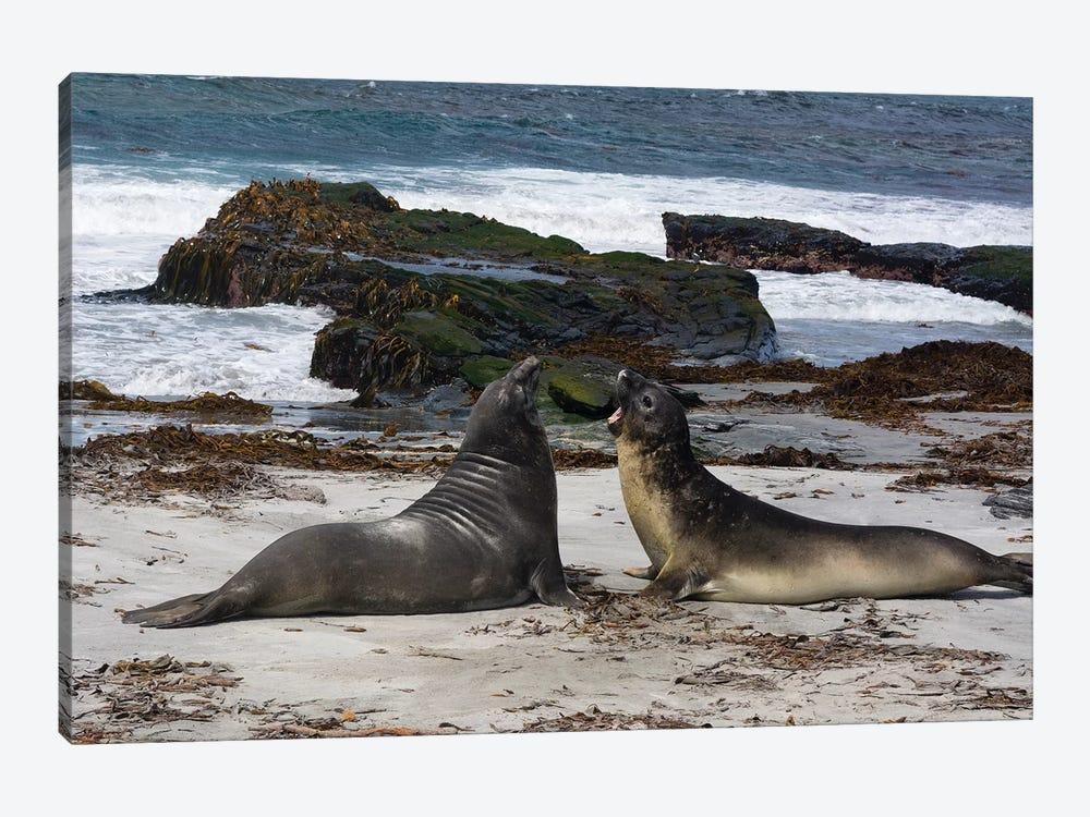 Southern elephant seals, Mirounga leonina, fighting. by Sergio Pitamitz 1-piece Canvas Artwork