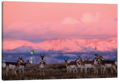 A Herd Of Pronghorns Graze Near Gas Drilling Rigs Sunset Near Pinedale, Wyoming Canvas Art Print