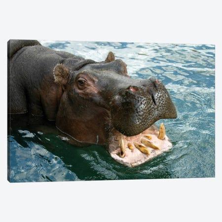 A Hippopotamus Bares Its Teeth At The Sedgwick County Zoo Canvas Print #SRR108} by Joel Sartore Canvas Print