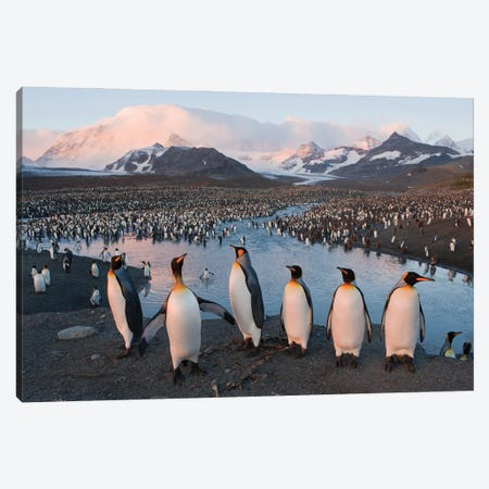 A King Penguin Rookery From South Georgia Island's St Andrews Bay Canvas Print #SRR111} by Joel Sartore Canvas Art