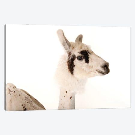 A Llama After A Recent Summer Haircut At The Lincoln Children's Zoo II Canvas Print #SRR116} by Joel Sartore Canvas Art Print