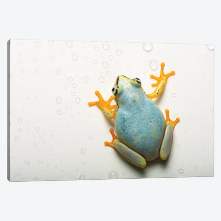 A Madagascar Reed Frog From The Plzen Zoo In The Czech Republic Canvas Print #SRR119} by Joel Sartore Canvas Art
