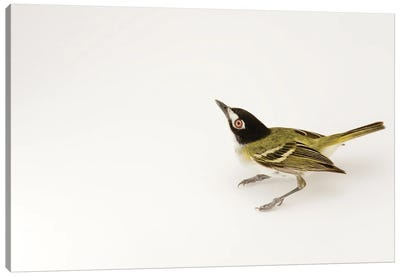 A Black-Capped Vireo At Fort Hood, Texas Canvas Art Print