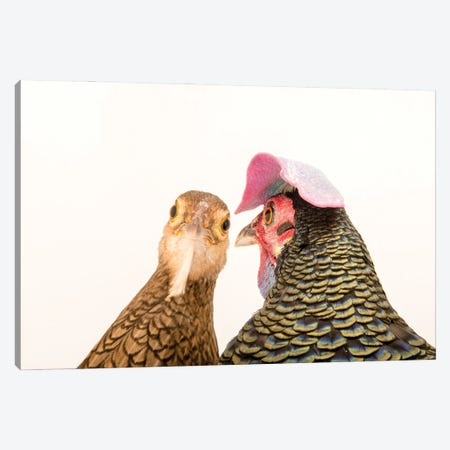 A Male And A Female Green Junglefowl At The Houston Zoo Canvas Print #SRR125} by Joel Sartore Canvas Artwork