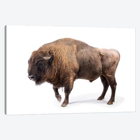 A Male European Bison At Parco Natura Viva In Bussolengo, Italy Canvas Print #SRR128} by Joel Sartore Canvas Print
