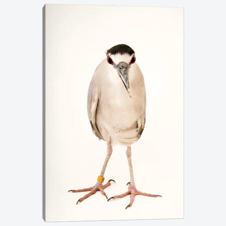 A Black-Crowned Night Heron At The Living Desert Zoo And Gardens In Palm Desert, California Canvas Print #SRR12} by Joel Sartore Canvas Artwork