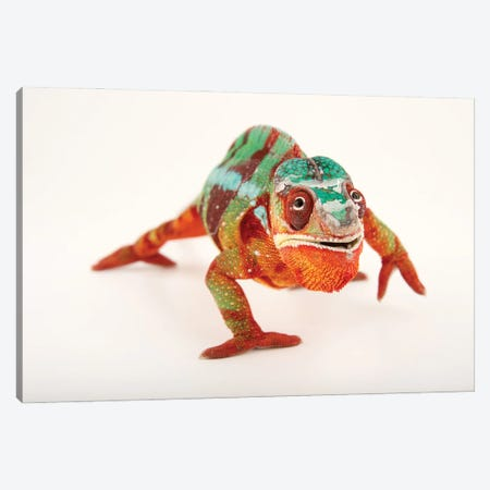 A Male Panther Chameleon Ambilobe Locality, At The Dallas World Aquarium Canvas Print #SRR130} by Joel Sartore Canvas Art