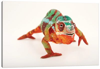 A Male Panther Chameleon Ambilobe Locality, At The Dallas World Aquarium Canvas Art Print