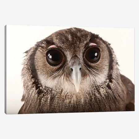 A Milky Eagle Owl At Zoo Atlanta Canvas Print #SRR136} by Joel Sartore Canvas Print