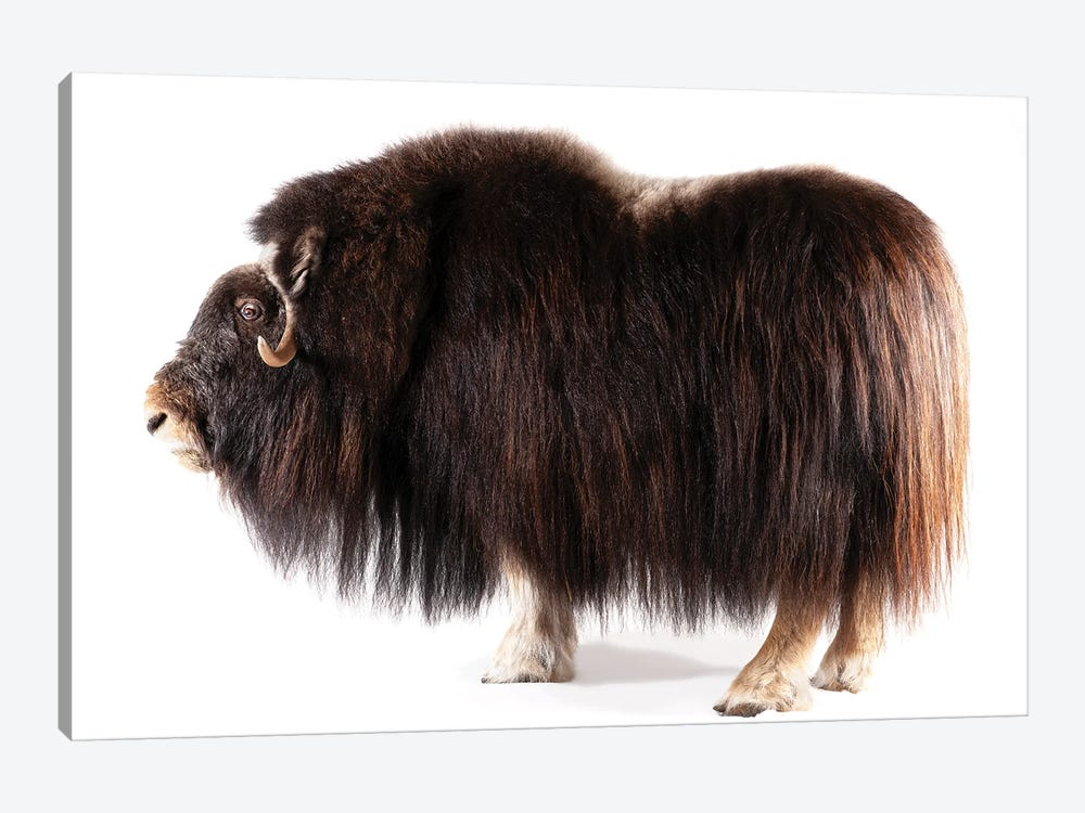 A Musk Ox At The University Of Alaska In Fairbanks, Ak by Joel Sartore 1-piece Canvas Print