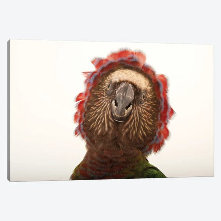 A Northern Red Fan Parrot At The Houston Zoo Canvas Print #SRR142} by Joel Sartore Canvas Print