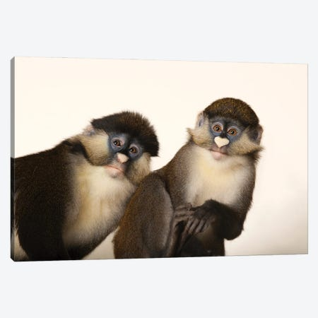 A Pair Of Schmidt's Red-Tailed Guenons At The Houston Zoo Canvas Print #SRR146} by Joel Sartore Canvas Artwork
