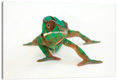 A Panther Chameleon At Lincoln Children's Zoo Canvas Art Print