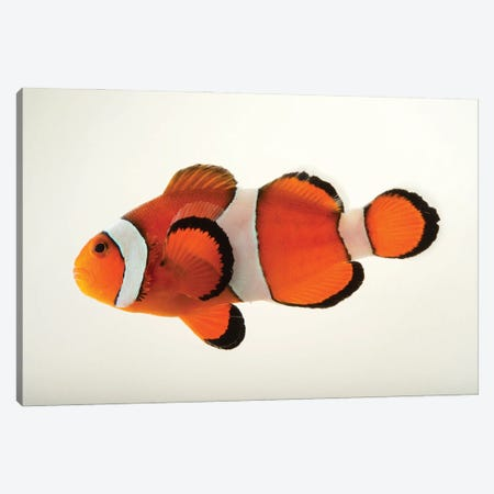 A Peacock Clownfish At The Miller Park Zoo In Bloomington, Il Canvas Print #SRR148} by Joel Sartore Canvas Art Print