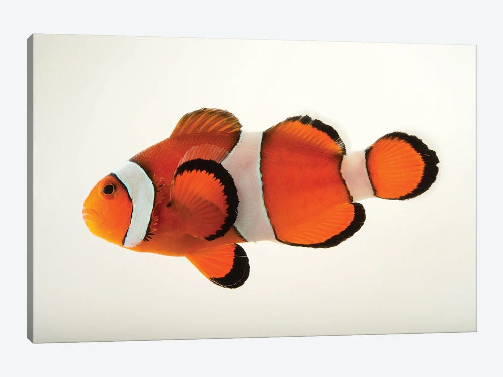 A Peacock Clownfish At The Miller Park Zoo In Bloomington, Il by Joel Sartore 1-piece Art Print