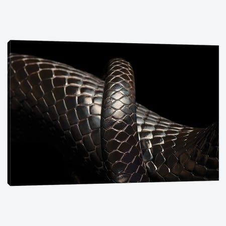 A Rare Eastern Indigo Snake At Toledo Zoo Canvas Print #SRR157} by Joel Sartore Canvas Art Print