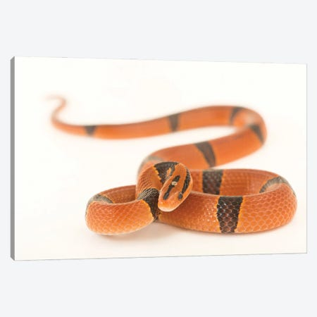 A Red Bamboo Snake From A Private Collection Canvas Print #SRR158} by Joel Sartore Canvas Wall Art