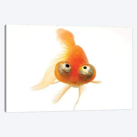 A Red Celestial Eye, A Fancy Breed Of Goldfish At Ocean Park In Hong Kong Canvas Print #SRR159} by Joel Sartore Canvas Wall Art