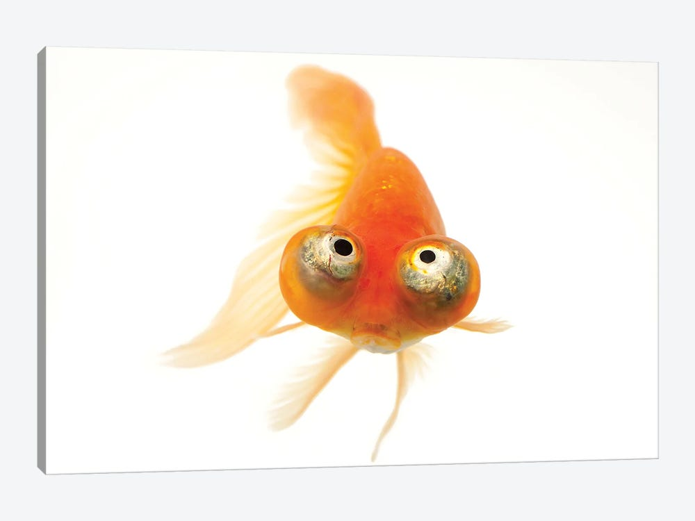 A Red Celestial Eye, A Fancy Breed Of Goldfish At Ocean Park In Hong Kong by Joel Sartore 1-piece Canvas Art Print
