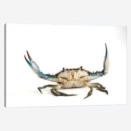 A Blue Crab Canvas Print #SRR15} by Joel Sartore Canvas Print