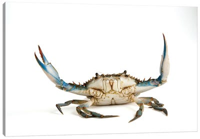 A Blue Crab Canvas Art Print