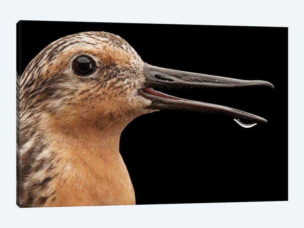 A Red Knot A Bird Species In Rapid Population Decline by Joel Sartore 1-piece Art Print