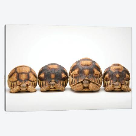 A Row Of Critically Endangered Ploughshare Tortoises At Zoo Atlanta Canvas Print #SRR165} by Joel Sartore Canvas Wall Art