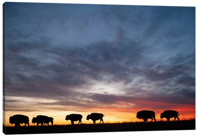 A Silhouette Of A Herd Of Bison And Sunset Near Valentine, Nebraska Canvas Art Print