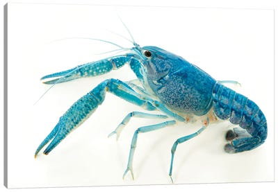 A Blue Crayfish At Aquarium Du Palais De La Porte Doree Canvas Art Print