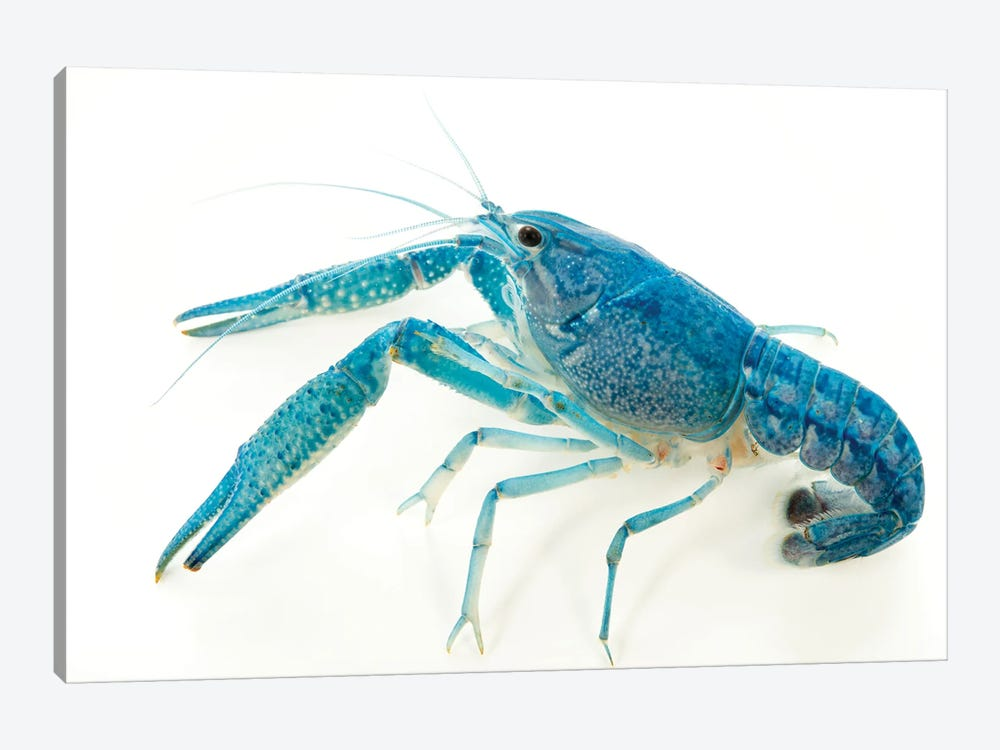 A Blue Crayfish At Aquarium Du Palais De La Porte Doree by Joel Sartore 1-piece Art Print