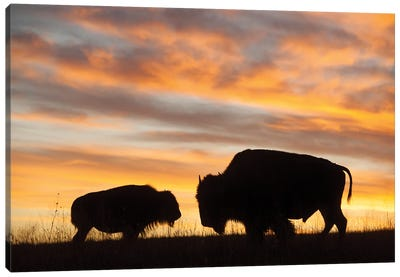 A Silhouette Of A Two Bison At Sunset Near Valentine, Nebraska Canvas Art Print