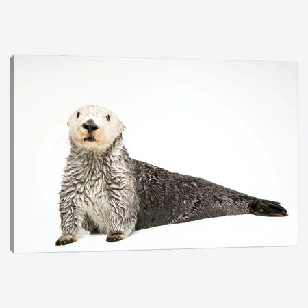 A Southern Sea Otter Named Brook, At The Aquarium Of The Pacific I Canvas Print #SRR175} by Joel Sartore Canvas Print