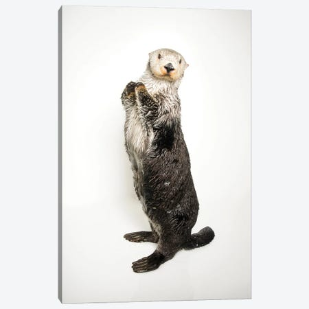 A Southern Sea Otter Named Brook, At The Aquarium Of The Pacific II Canvas Print #SRR176} by Joel Sartore Canvas Print