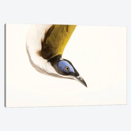 A Blue Faced Honeyeater At The Plzen Zoo Canvas Print #SRR17} by Joel Sartore Canvas Art Print