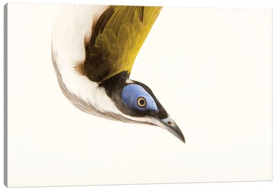 A Blue Faced Honeyeater At The Plzen Zoo Canvas Art Print