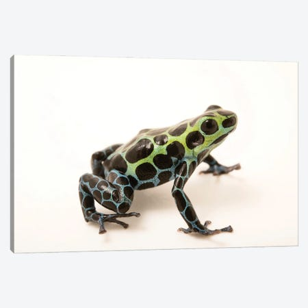 A Splash-Back Poison Frog At The Houston Zoo Canvas Print #SRR180} by Joel Sartore Canvas Art Print